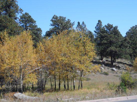 Small aspen grove